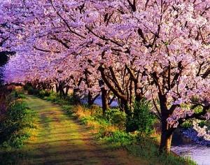 Дерево сакура: это вишня или слива?