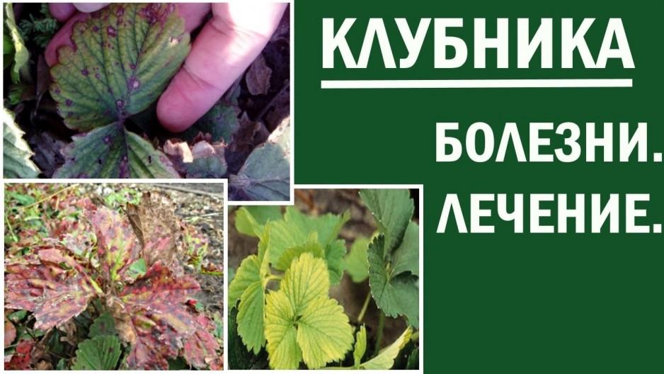 Как и чем опрыскать клубнику весной от болезней и вредителей: описание