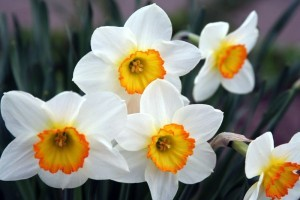 Многолетние луковичные неприхотливые цветы для дачи