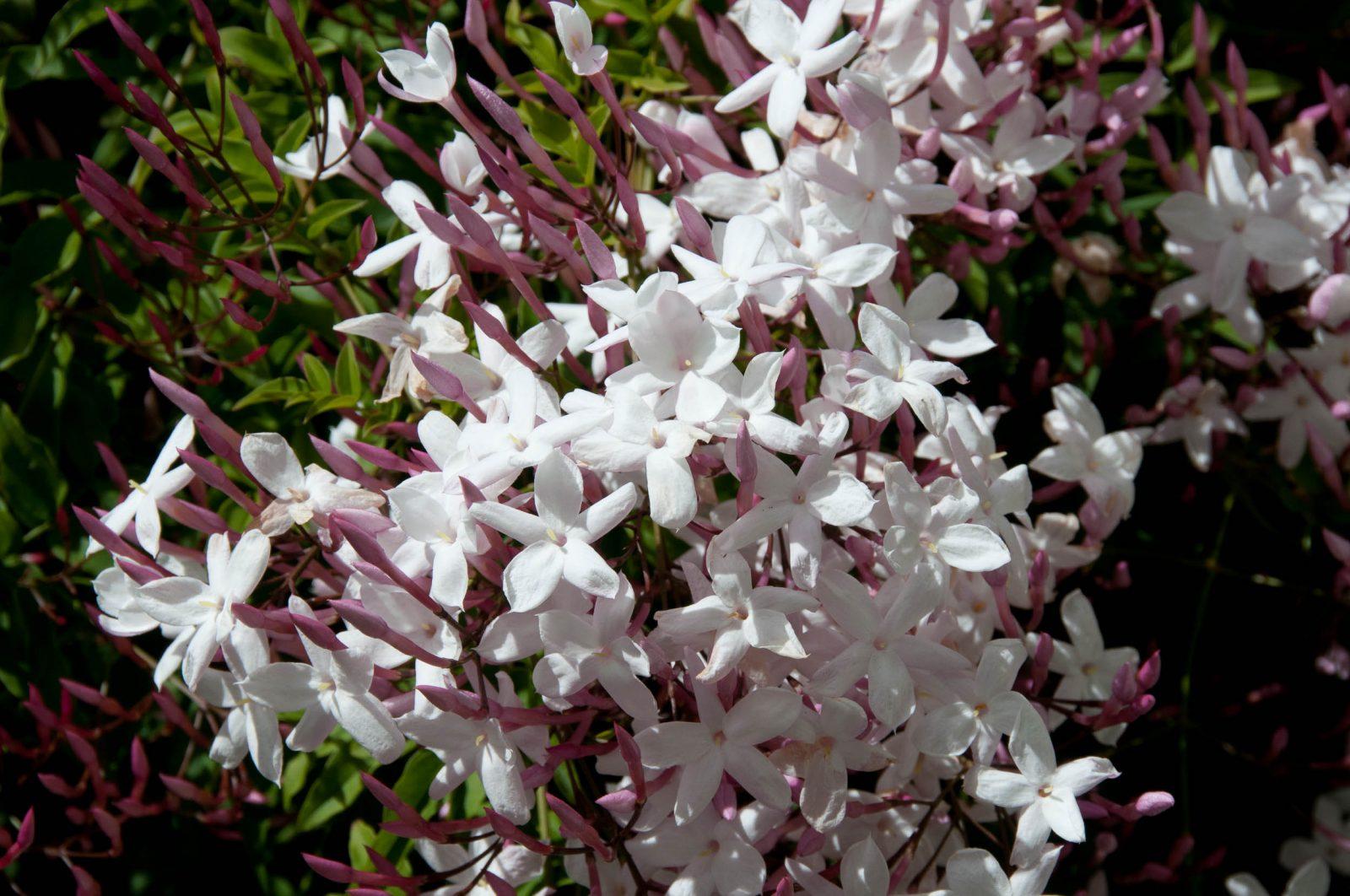 жасмин многоцветковый