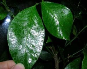 налет на листьях