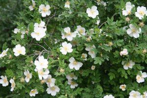 кустарник с зелёными листьями и белыми цветками