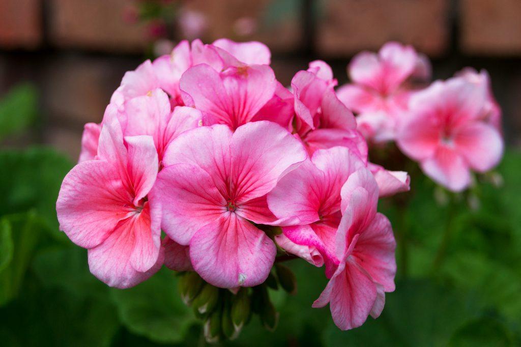 розовое соцветие герани