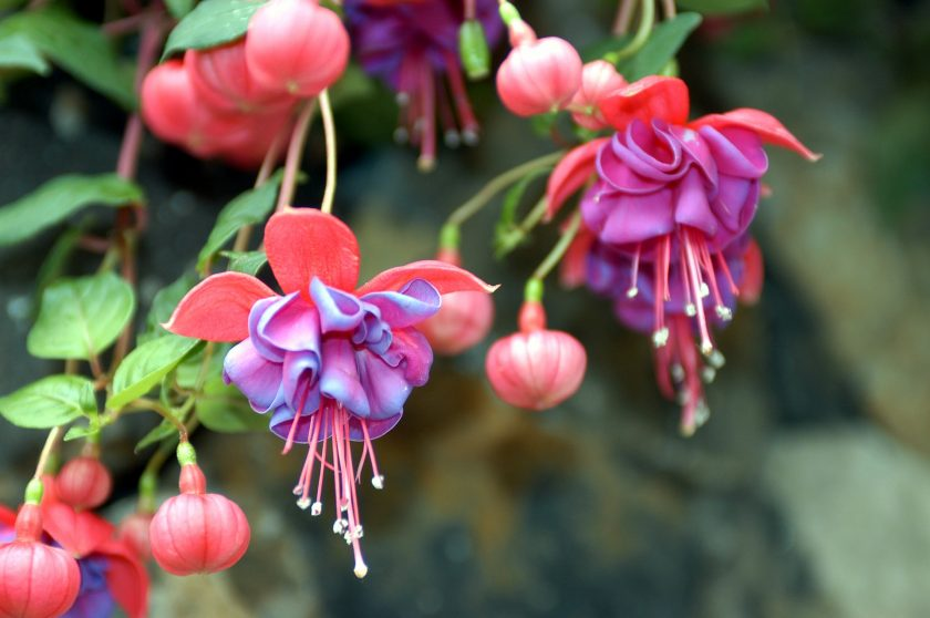 цветки и бутоны фуксии