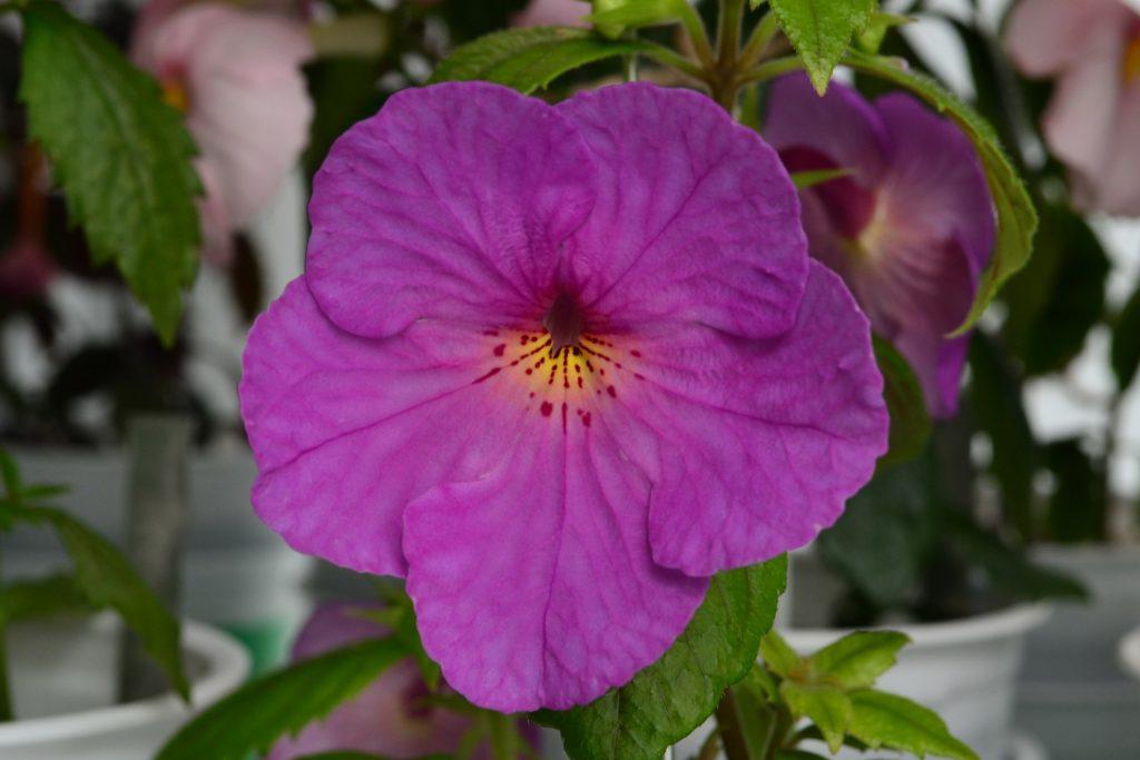 цветок ахименеса