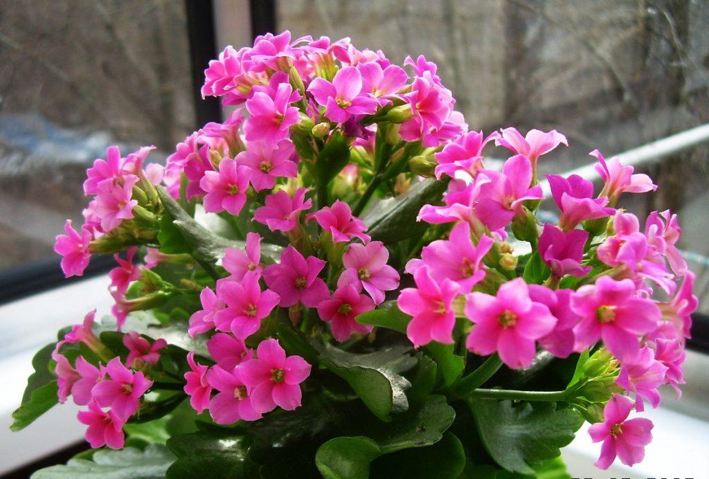 розовые соцветия каланхоэ
