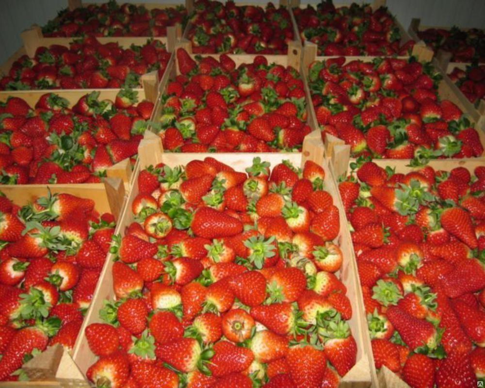 Клубника круглый год: особенности выращивания в теплицах