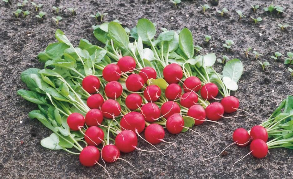 Особенности выращивания редиса в теплице ранней весной