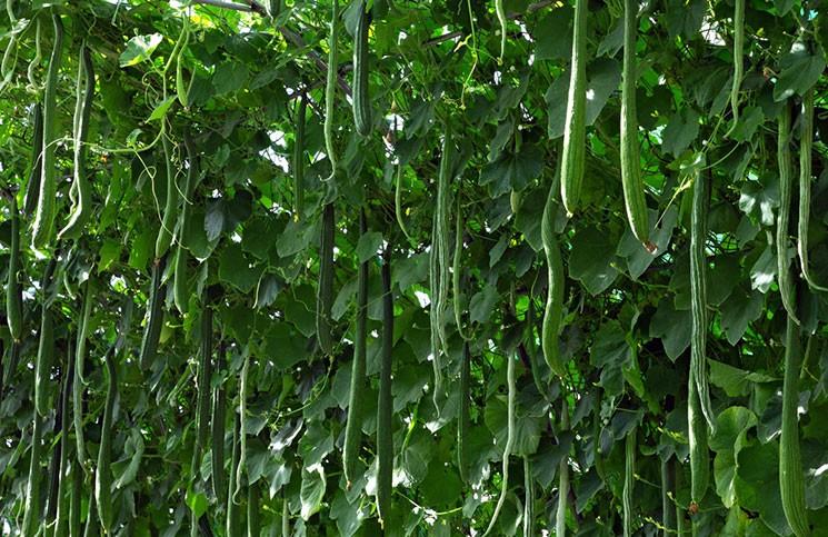 китайские длинноплодные огурцы