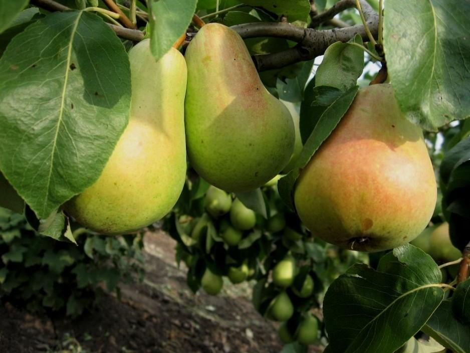 популярные сорта груш