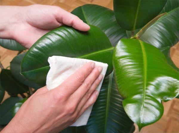 как поливать фикус в домашних условиях