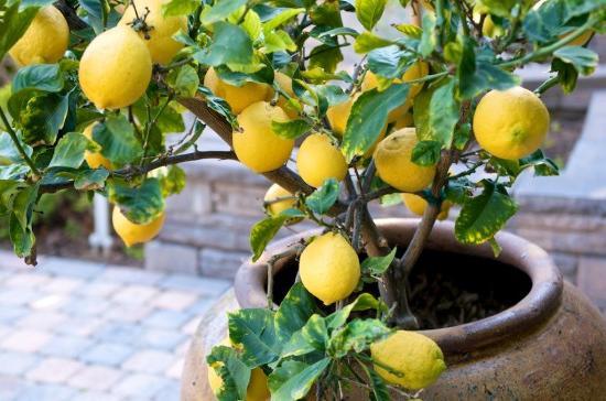 как в домашних условиях вырастить лимон из косточки в домашних условиях