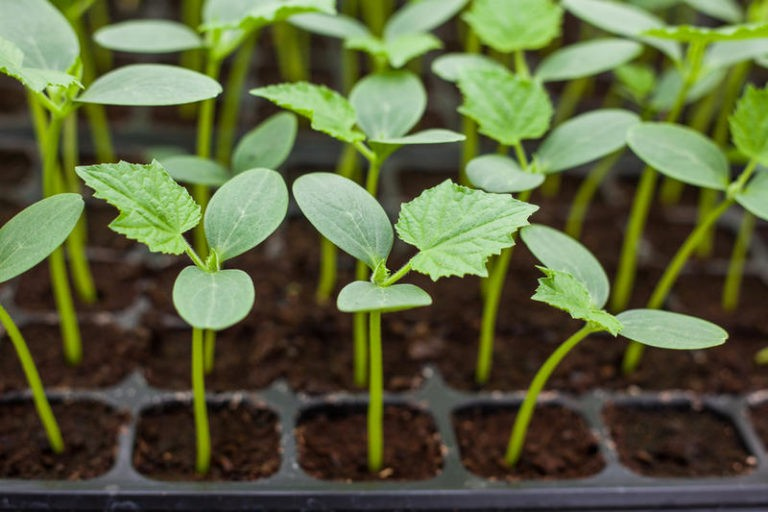 Посадка и выращивание огурцов на рассаду в домашних условиях, советы(фото)