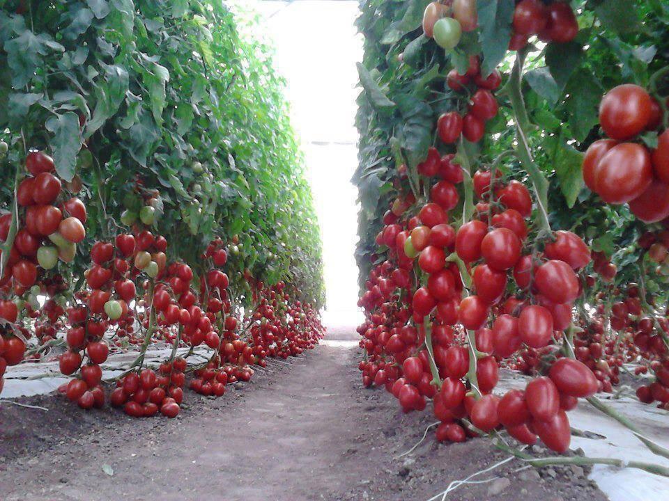 На каком расстоянии сажать помидоры в открытом грунте и в теплице?
