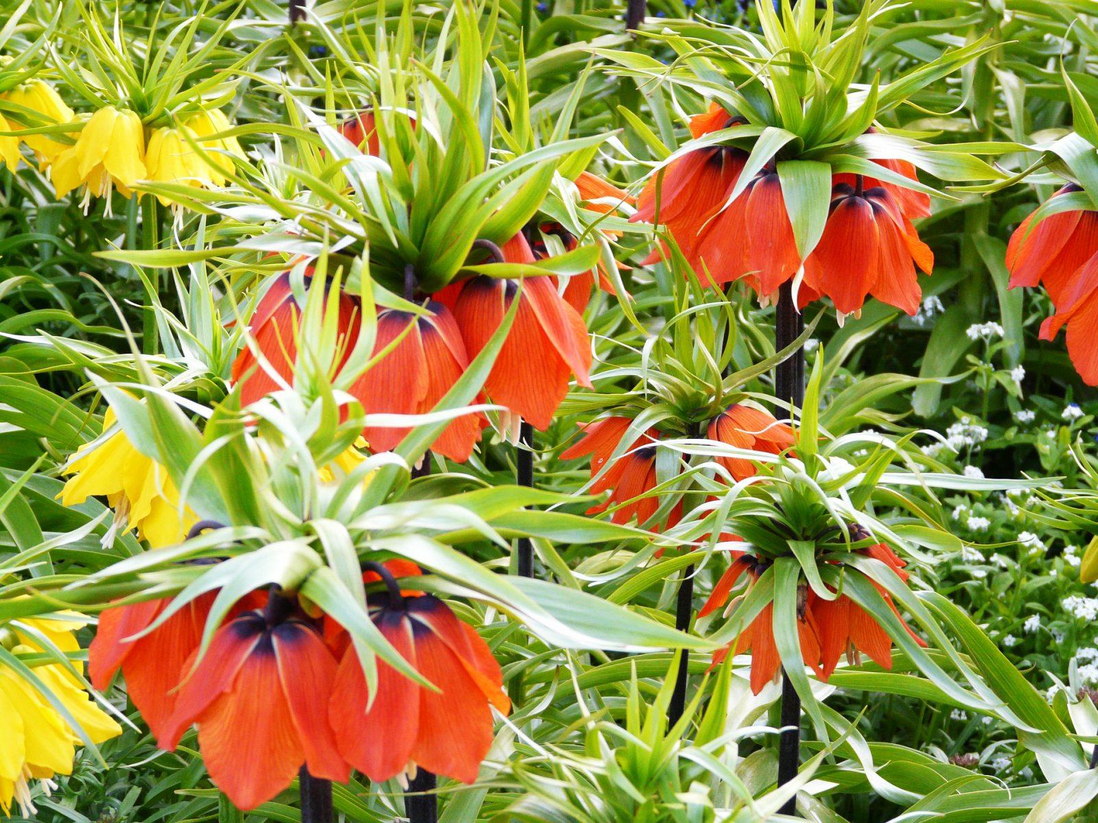 Фото цветка царская корона