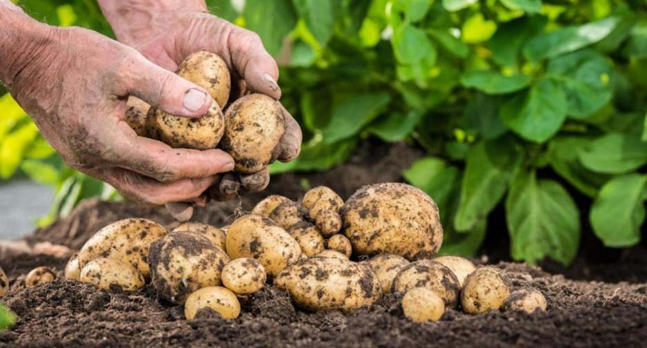картофель для посадки