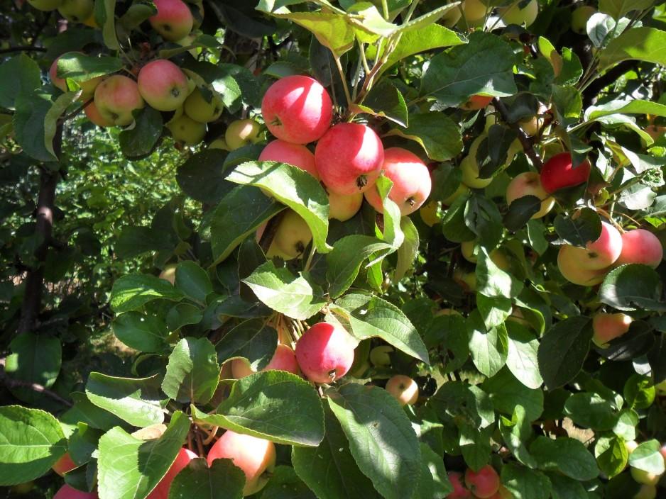 почему не цветут яблони