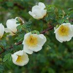 ветка с листьями, белыми цветами и шипами