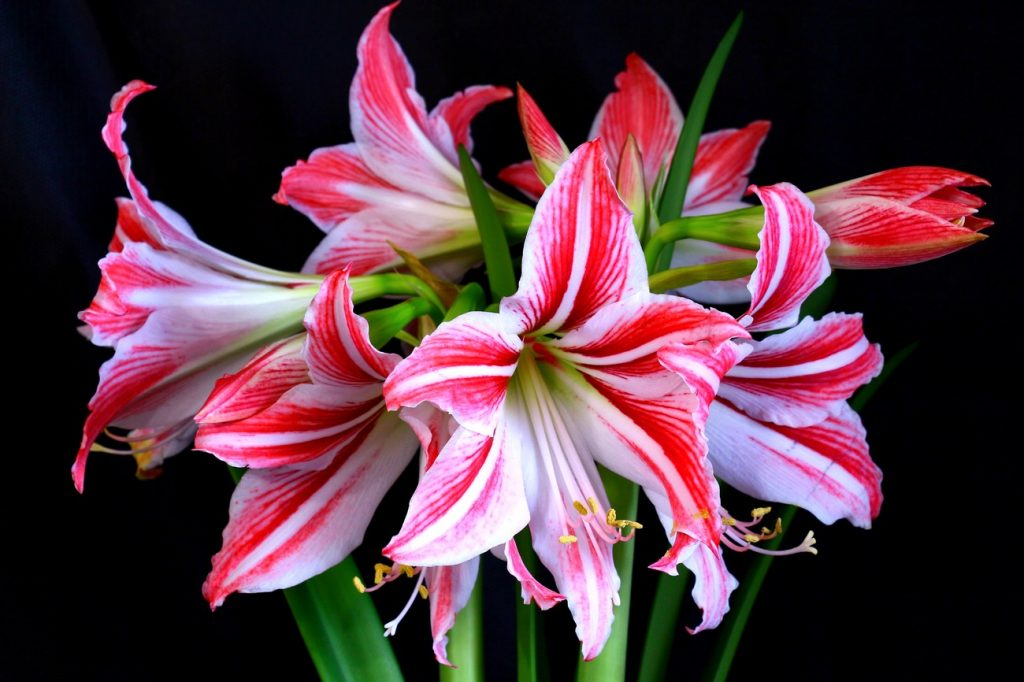 цветики гиппеаструма
