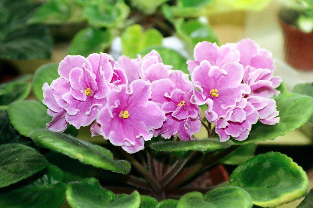 розовые цветки фиалки