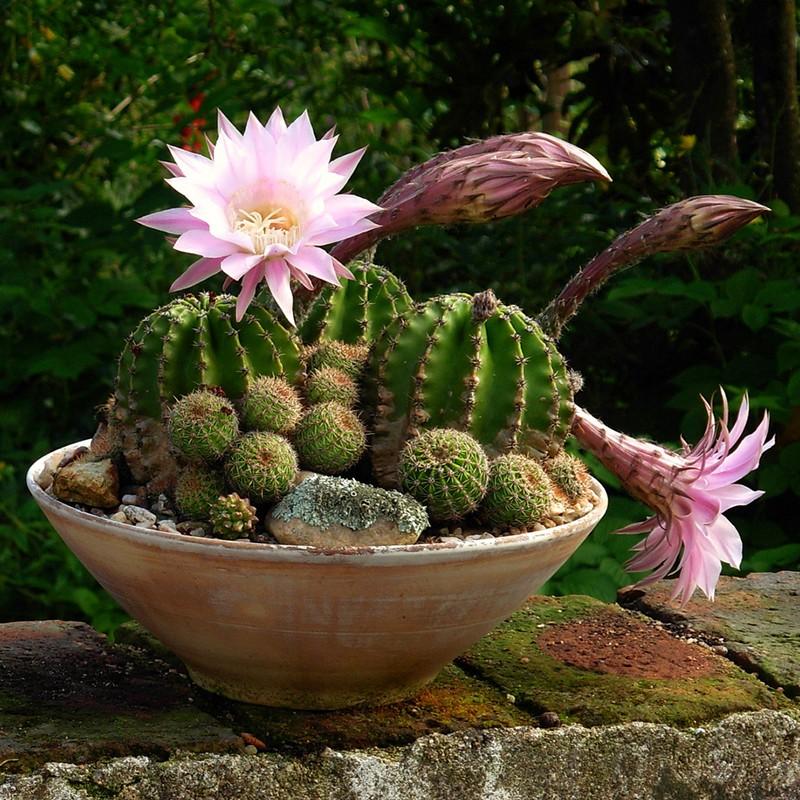 стебли и бутоны кактуса