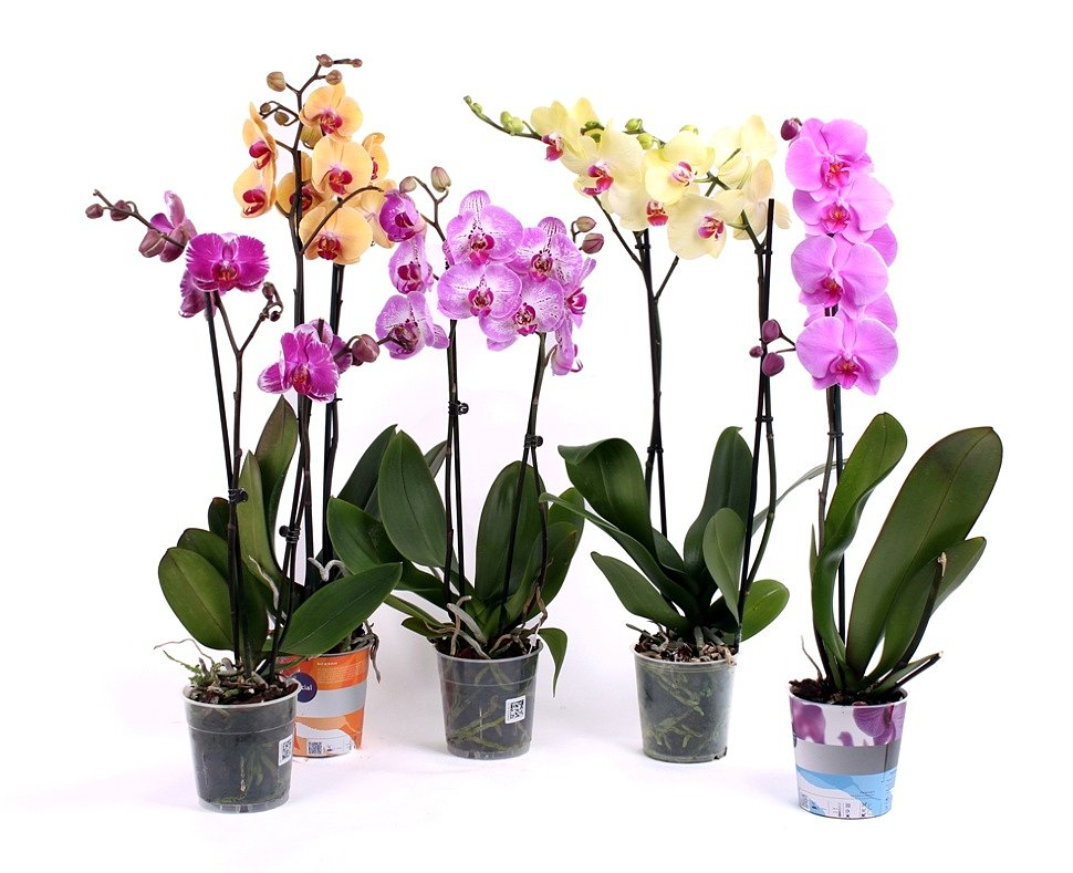 4 орхидеи в горшках