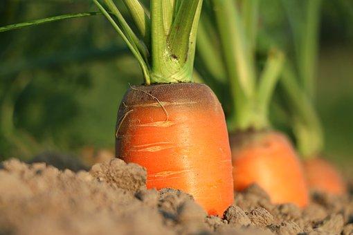 морковь в земле