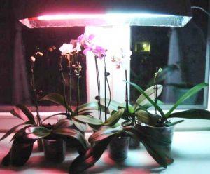 орхидеи под фитолампой