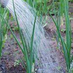 полив лука