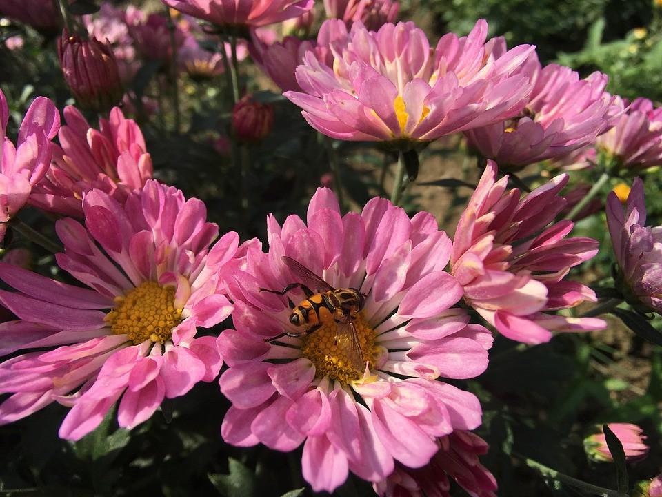 цветы розового цвета и пчела