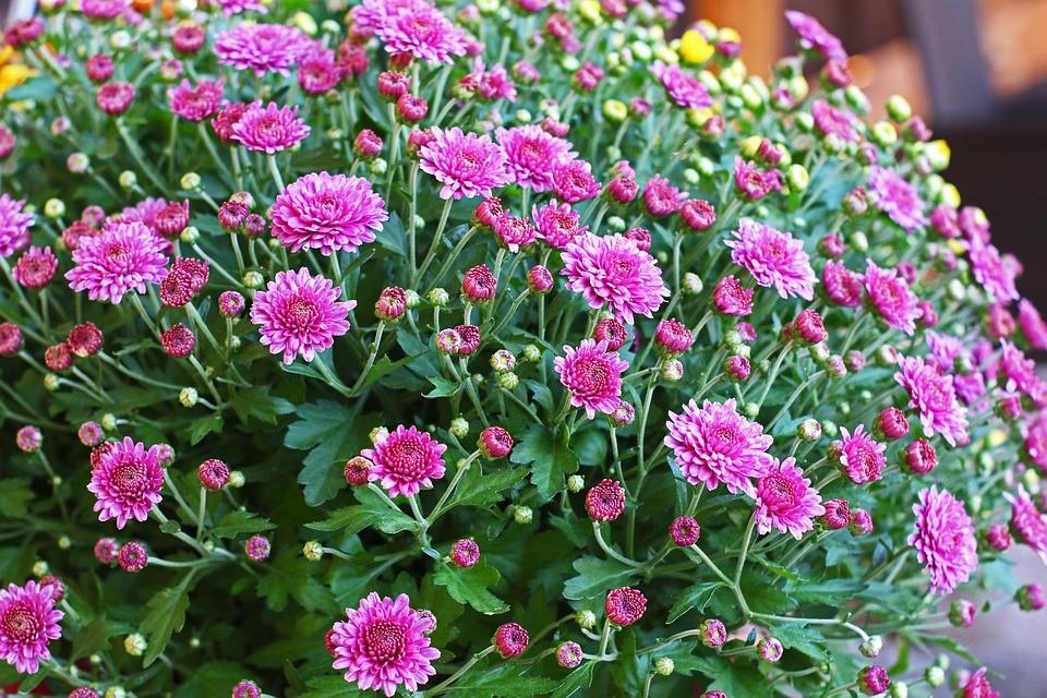 куст цветов розового цвета