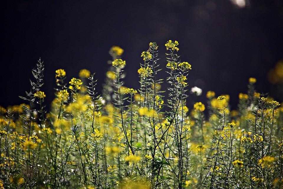 жёлтые цветы в поле