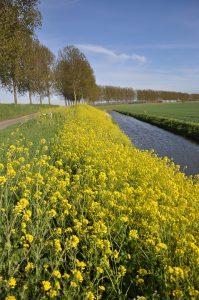 поле жёлтых цветов слева от реки