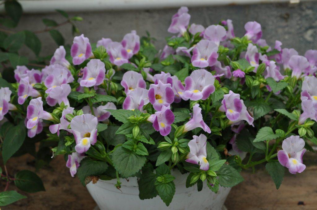 цветы бледно-фиолетового цвета