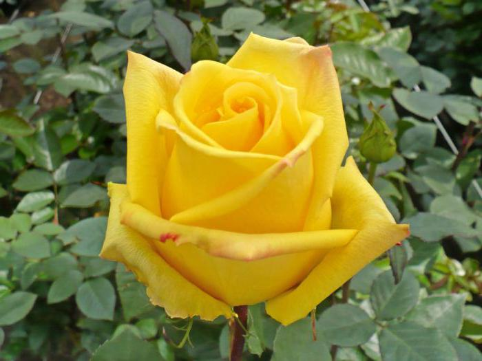 бутон розы жёлтого цвета