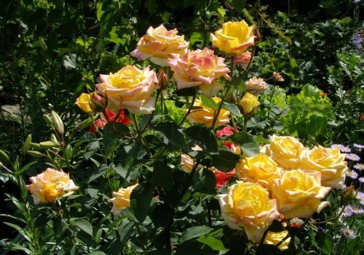 куст розы с цветами жёлтого цвета