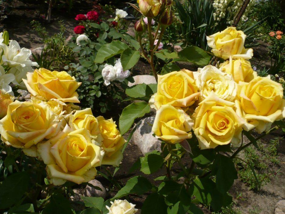 два куста роз с цветами жёлтого цвета