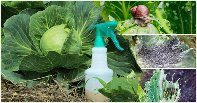 Народные средства для защиты капусты