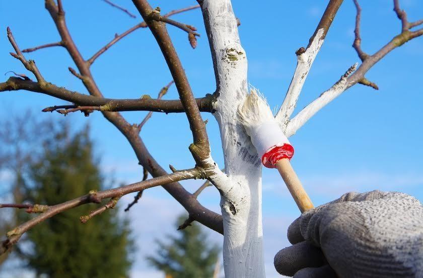 Когда белить деревья
