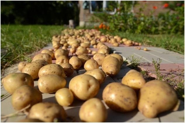 Подготовка картофеля к хранению