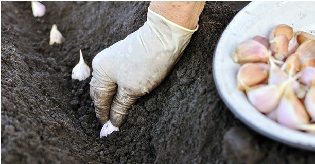 Правила посадки осеннего чеснока