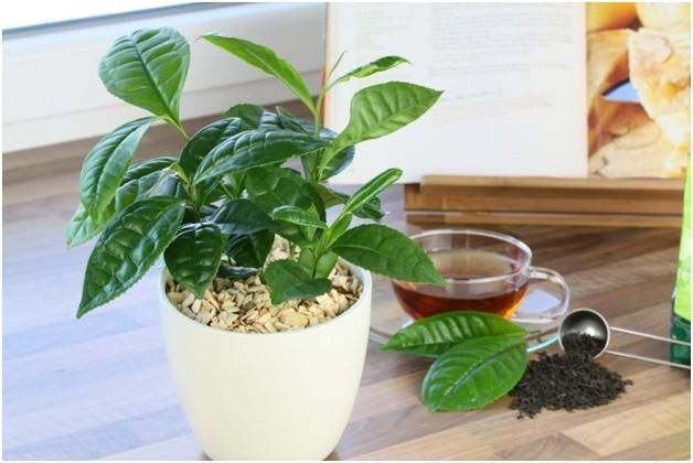 Чай как удобрение комнатных растений