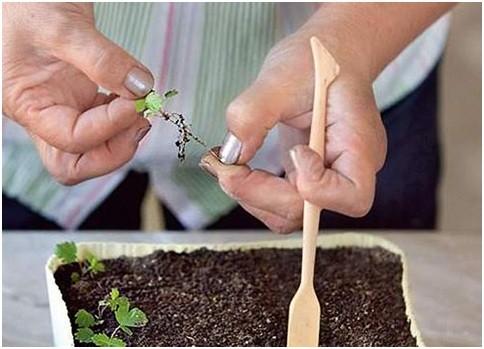 Как ухаживать за сеянцами клубники