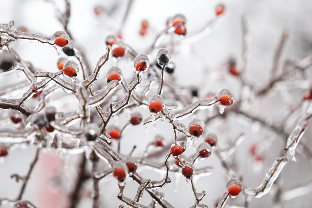 Уберечь деревья от ледяного дождя