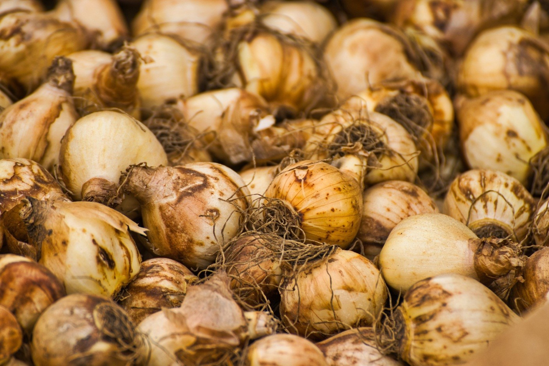 Особенности хранения луковиц тюльпана