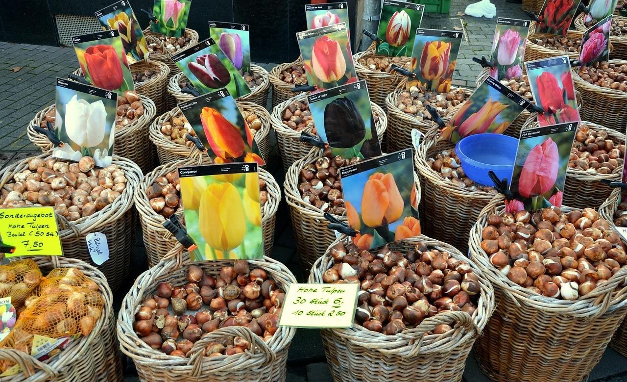 Как заложить луковицы тюльпана на хранение