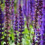 фиолетовые цветки шалфея в поле