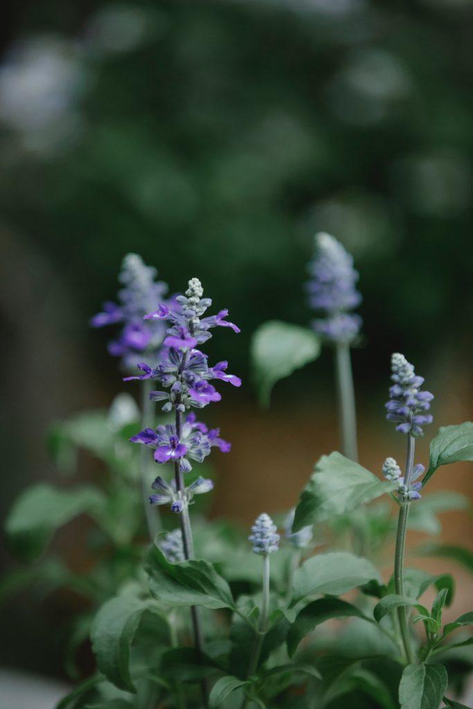 стебли шалфея с листьями и фиолетовыми цветками