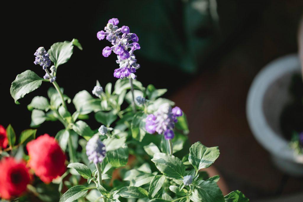 стебли шалфея с листьями и фиолетовыми цветами рядом с красными цветками